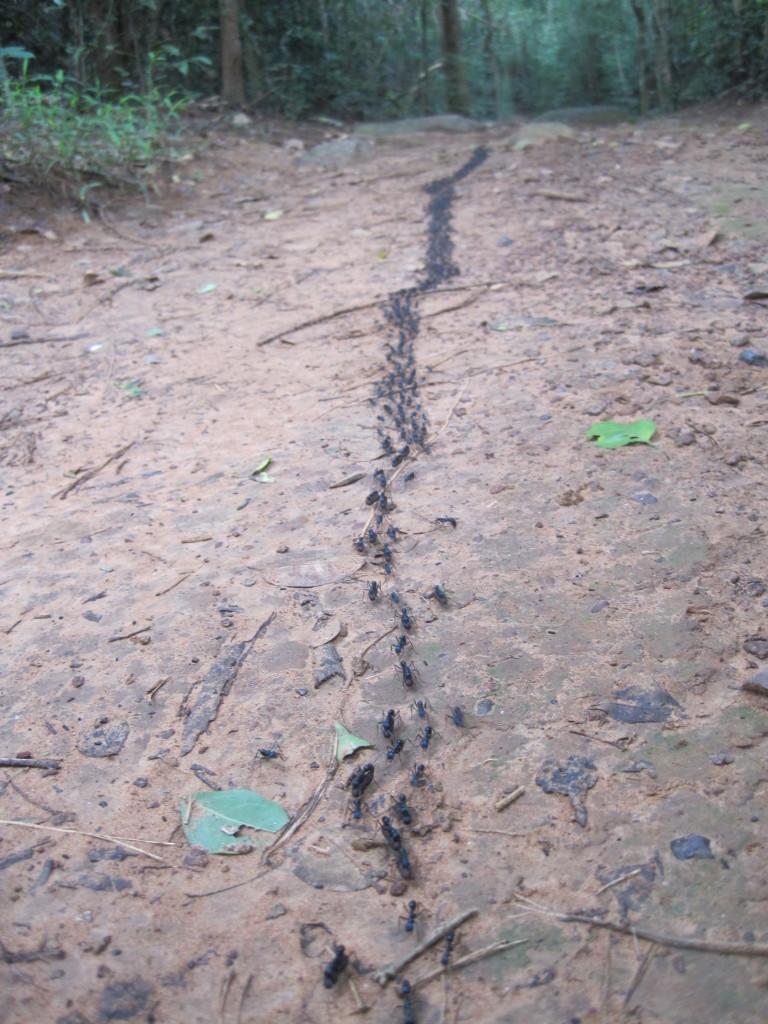 Trail of ants at Sakaerat